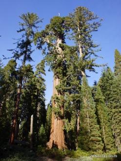 Kings Canyon National Park. Giant sequoia (Sequoiadendron giganteum) (2)