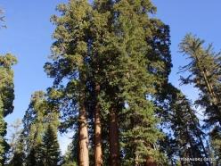 Kings Canyon National Park. Giant sequoia (Sequoiadendron giganteum) (3)