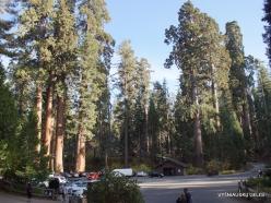 Kings Canyon National Park. Giant sequoia (Sequoiadendron giganteum) (4)