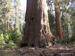 Kings Canyon National Park. Giant sequoia (Sequoiadendron giganteum) (6)