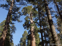 Kings Canyon National Park. Giant sequoia (Sequoiadendron giganteum) (7)