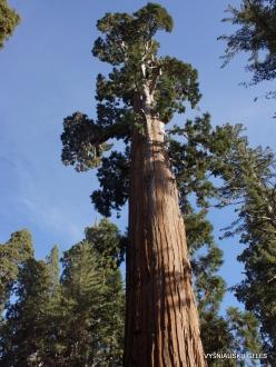 Kings Canyon National Park. Giant sequoia (Sequoiadendron giganteum) (8)