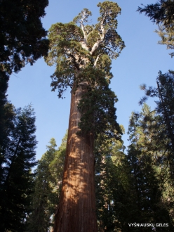 "Kings Canyon National Park. Giant sequoia (Sequoiadendron giganteum). ""General Grant Tree"" – the second largest tree in the world (10)"