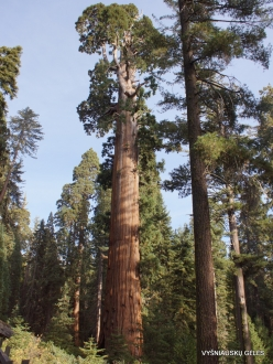 "Kings Canyon National Park. Giant sequoia (Sequoiadendron giganteum). ""General Grant Tree"" – the second largest tree in the world (14)"