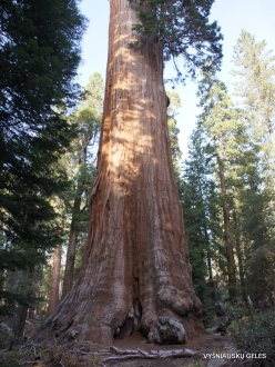 "Kings Canyon National Park. Giant sequoia (Sequoiadendron giganteum). ""General Grant Tree"" – the second largest tree in the world (9)"