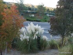 Near Fresno. Pampas grass (Cortaderia seloana) (10)