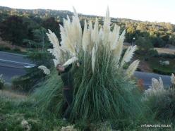 Near Fresno. Pampas grass (Cortaderia seloana) (13)