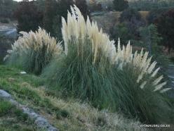 Near Fresno. Pampas grass (Cortaderia seloana) (3)