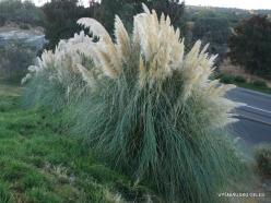 Near Fresno. Pampas grass (Cortaderia seloana) (6)