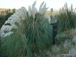 Near Fresno. Pampas grass (Cortaderia seloana) (7)