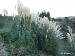 Near Fresno. Pampas grass (Cortaderia seloana) (9)