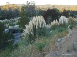 Near Fresno. Pampas grass (Cortaderia seloana)