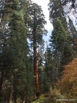Sequoia National Park. Giant sequoia (Sequoiadendron giganteum) (1)