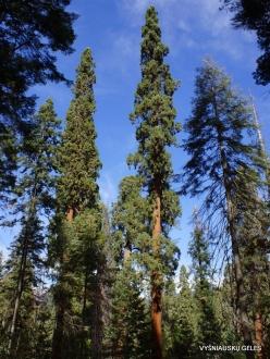 Sequoia National Park. Giant sequoia (Sequoiadendron giganteum) (12)