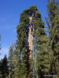 Sequoia National Park. Giant sequoia (Sequoiadendron giganteum) (13)