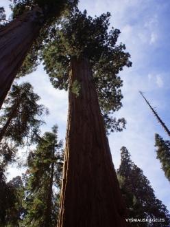 Sequoia National Park. Giant sequoia (Sequoiadendron giganteum) (18)