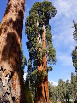 Sequoia National Park. Giant sequoia (Sequoiadendron giganteum) (19)