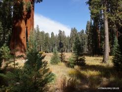 Sequoia National Park. Giant sequoia (Sequoiadendron giganteum) (21)