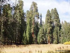Sequoia National Park. Giant sequoia (Sequoiadendron giganteum) (25)