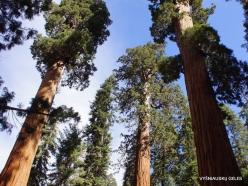 Sequoia National Park. Giant sequoia (Sequoiadendron giganteum) (27)