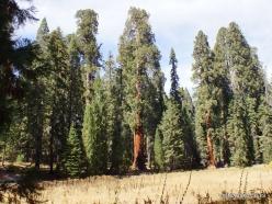 Sequoia National Park. Giant sequoia (Sequoiadendron giganteum) (28)