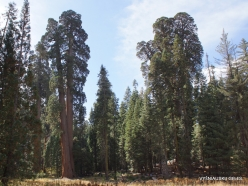 Sequoia National Park. Giant sequoia (Sequoiadendron giganteum) (29)