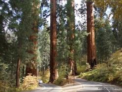 Sequoia National Park. Giant sequoia (Sequoiadendron giganteum) (3)