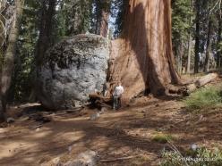 Sequoia National Park. Giant sequoia (Sequoiadendron giganteum) (30)