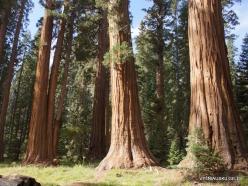 Sequoia National Park. Giant sequoia (Sequoiadendron giganteum) (31)