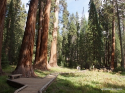 Sequoia National Park. Giant sequoia (Sequoiadendron giganteum) (32)
