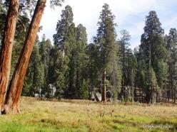 Sequoia National Park. Giant sequoia (Sequoiadendron giganteum) (33)