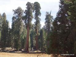 Sequoia National Park. Giant sequoia (Sequoiadendron giganteum) (35)