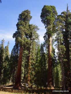 Sequoia National Park. Giant sequoia (Sequoiadendron giganteum) (36)