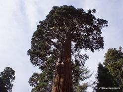 Sequoia National Park. Giant sequoia (Sequoiadendron giganteum) (37)