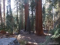 Sequoia National Park. Giant sequoia (Sequoiadendron giganteum) (38)