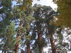 Sequoia National Park. Giant sequoia (Sequoiadendron giganteum) (4)