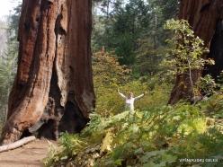 Sequoia National Park. Giant sequoia (Sequoiadendron giganteum) (6)