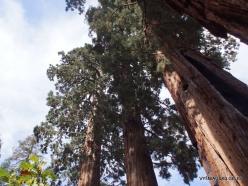 Sequoia National Park. Giant sequoia (Sequoiadendron giganteum) (8)