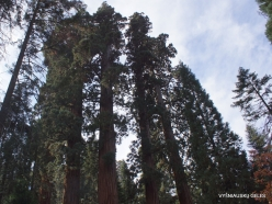 Sequoia National Park. Giant sequoia (Sequoiadendron giganteum) (9)