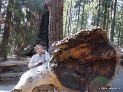 "Sequoia National Park. Giant sequoia (Sequoiadendron giganteum). ""General Sherman Tree"" – the largest tree in the world (3)"