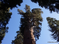 "Sequoia National Park. Giant sequoia (Sequoiadendron giganteum). ""General Sherman Tree"" – the largest tree in the world (4)"