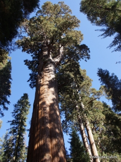 "Sequoia National Park. Giant sequoia (Sequoiadendron giganteum). ""General Sherman Tree"" – the largest tree in the world (6)"