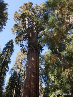 "Sequoia National Park. Giant sequoia (Sequoiadendron giganteum). ""General Sherman Tree"" – the largest tree in the world"