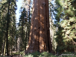 "Sequoia National Park. Giant sequoia (Sequoiadendron giganteum). ""General Sherman Tree"" – the largest tree on Earth (1)"