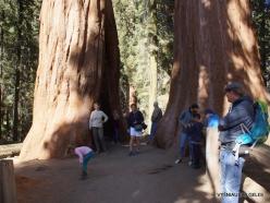 """Sequoia National Park. Giant sequoia (Sequoiadendron giganteum). """"Twin Sequoias"""" (2)"""