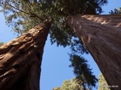 """Sequoia National Park. Giant sequoia (Sequoiadendron giganteum). """"Twin Sequoias"""""""