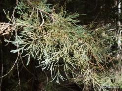Sequoia National Park. Giant sequoia (Sequoiadendron giganteum). Twig