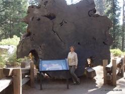 Sequoia National Park. Giant sequoia (Sequoiadendron giganteum). Wood texture