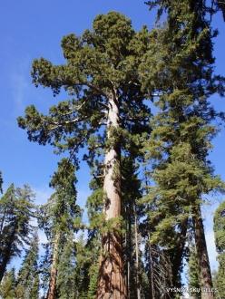 Sequoia National Park. Ponderosa pine (Pinus ponderosa)