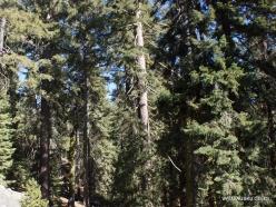 Sequoia National Park. Sugar pine (Pinus lambertiana) (2)